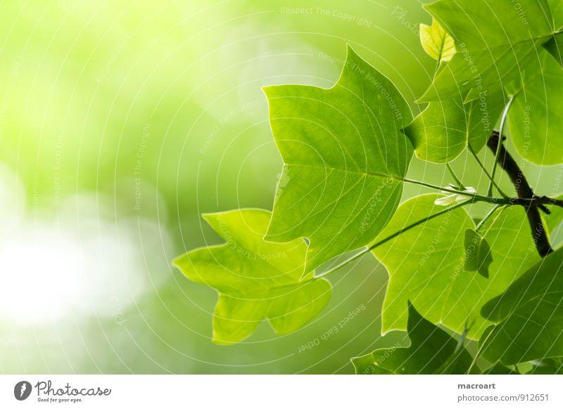 Tulpenbaum- Liriodendron Tulipifera Natur Pflanze grün Sommer Baum Blatt Wald Frühling natürlich Ast Zweig Laubbaum