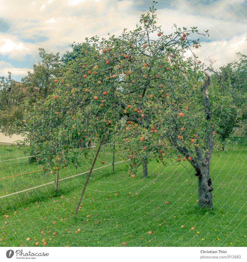 Apfelernte Ferien & Urlaub & Reisen blau grün weiß Sommer Baum Erholung Wolken Leben Wiese Essen Glück Gesundheit braun Gesundheitswesen Zufriedenheit