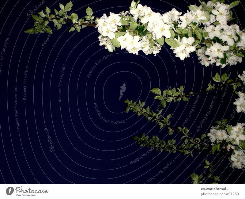 prima lichtverhältnisse. schön weiß Baum grün Pflanze schwarz dunkel Blüte Garten Park schlafen