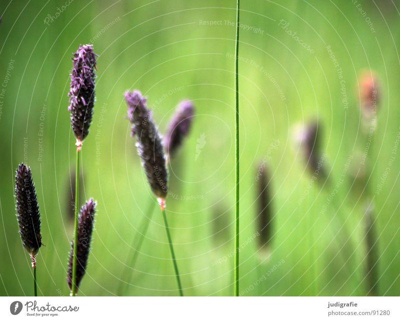 Gras blau grün schön Sommer Wiese Gras glänzend weich violett Frieden zart Weide Stengel Halm sanft beweglich