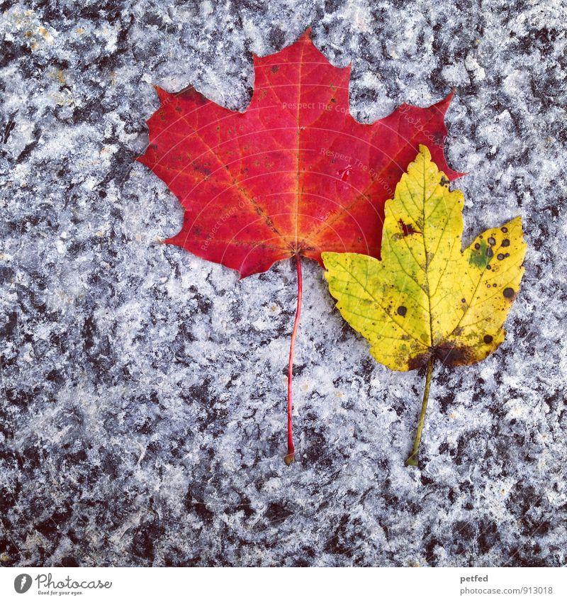 Zwei Natur alt schön rot Blatt gelb Herbst grau Zeit Stein 2 einzigartig verblüht dehydrieren