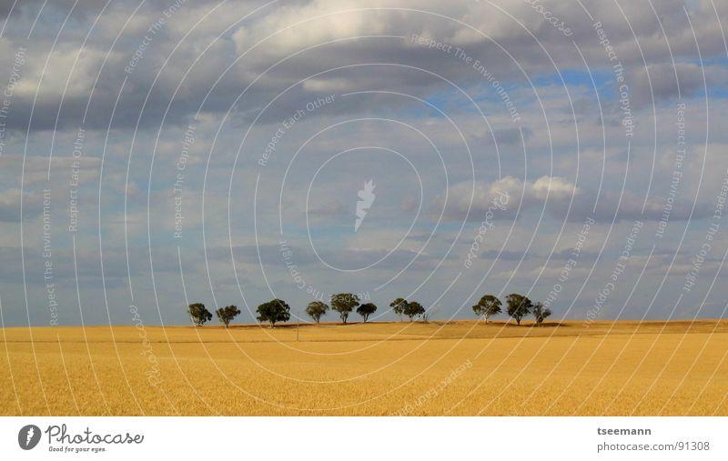Einsame Bäume Himmel Baum blau Wolken Einsamkeit gelb Ferne Feld Länder Amerika Australien Westen Weizen schlechtes Wetter Getreide