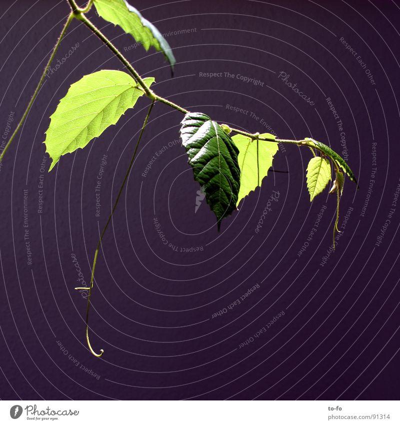 grün auf blau 1 Pflanze Zimmerpflanze sparsam Blatt Wachstum graphisch Frühling Lampe Zweig Beleuchtung