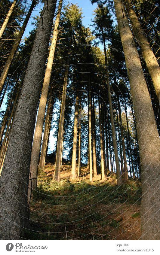 Himmeltannenbäume Wald Baum Abendsonne blau-grün saftig Unterholz Hirsche Reh Wildnis Freundlichkeit Zufriedenheit Holz Nadelbaum Fichte Tanne Wildtier