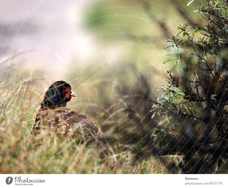 mmmmh... ich dacht da wär was rotes... Umwelt Natur Landschaft Pflanze Tier Wiese Wald Wildtier Vogel 1 Blick ästhetisch natürlich grün Fasan Fasanenartiger