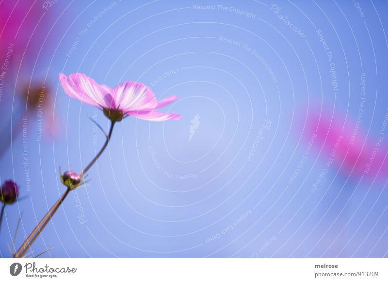 luftig zart Pflanze Himmel Wolkenloser Himmel Sommer Schönes Wetter Blume Blüte Schmuckkörbchen Kosmee weiss-rosa Garten Park Blühend leuchten träumen