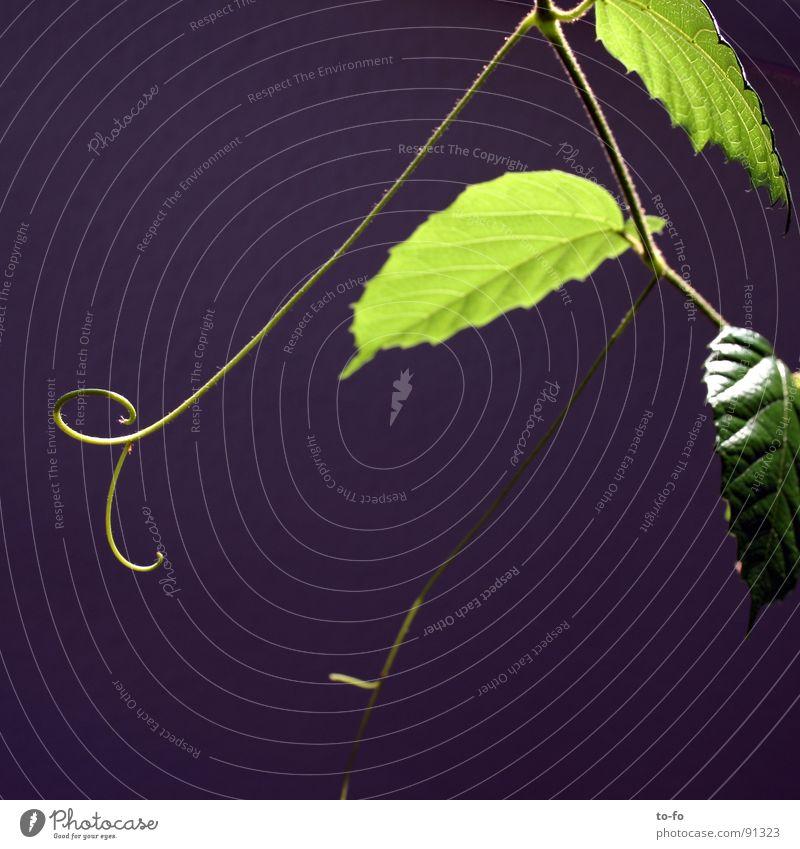 grün auf blau 2 Pflanze Zimmerpflanze sparsam Blatt Wachstum graphisch Frühling Lampe Zweig Beleuchtung