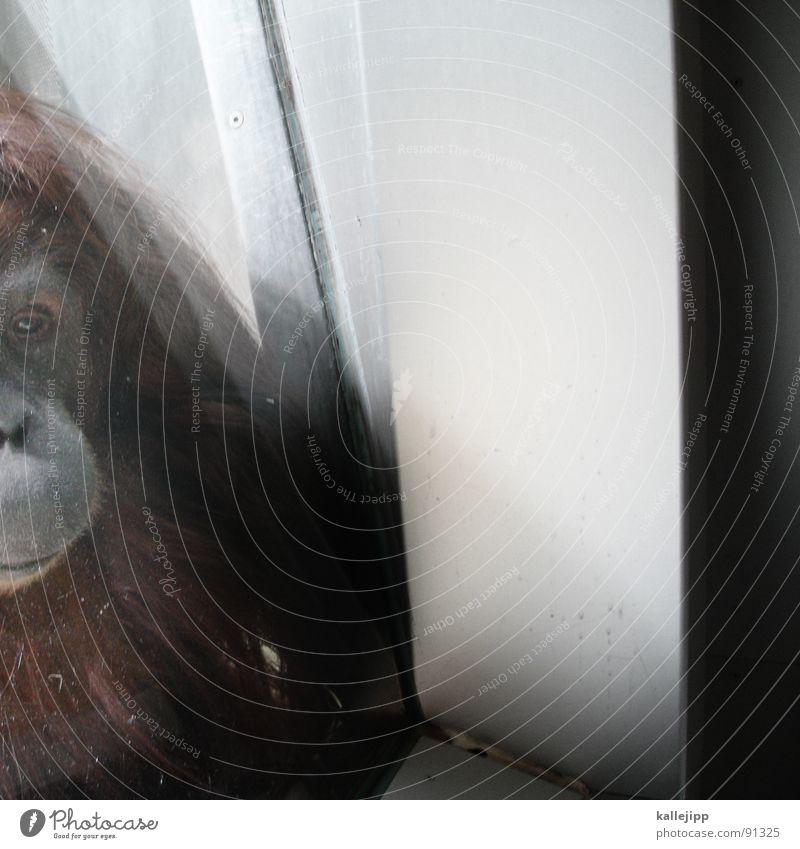 monkeybusiness Affen Zoo Tier schlafen Käfig Gitter Trauer gefangen Umweltschutz Lebewesen Show maskulin Fell hocken Menschenaffen Ehre honorig erhaben Afrika