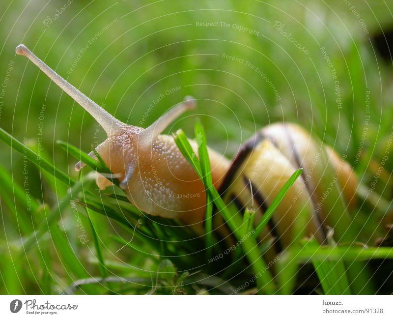 lecker! Schneckenhaus Schleim schleimig krabbeln langsam Tier Fühler Fressen Gras Zeitlupe Glätte fortbewegen Auge Blick Gefühle snail slime antenna slow