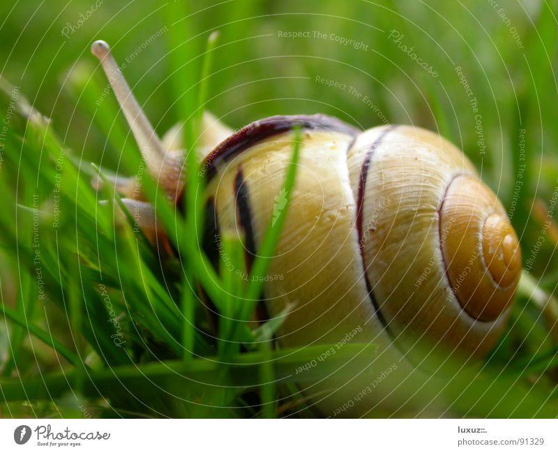 verkriech mich Schneckenhaus Schleim schleimig krabbeln langsam Tier Fühler Fressen Gras Zeitlupe Glätte Detailaufnahme verstecken verkriechen fortbewegen Auge