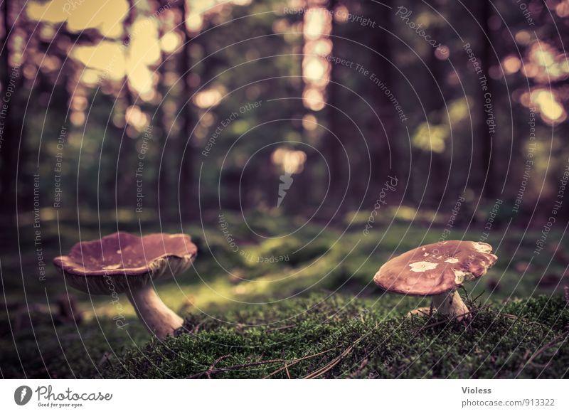 zu zweit ... Natur grün Landschaft Wald weich Moos Pilz Waldboden Pilzhut Fliegenpilz