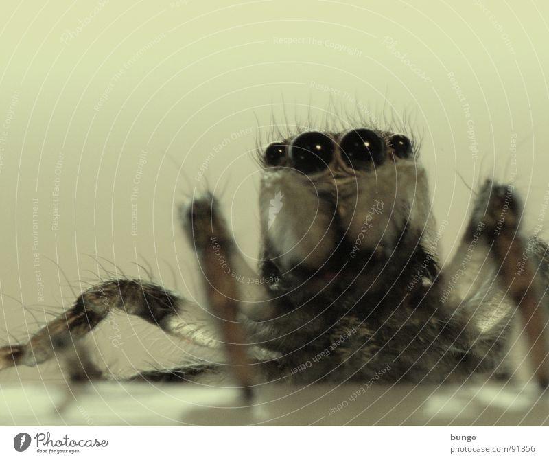 hööö??? Auge klein Angst Ekel Spinne Panik Springspinne Gliederfüßer Mandibel Fresswerkzeug Kieferklaue Zebraspringspinne