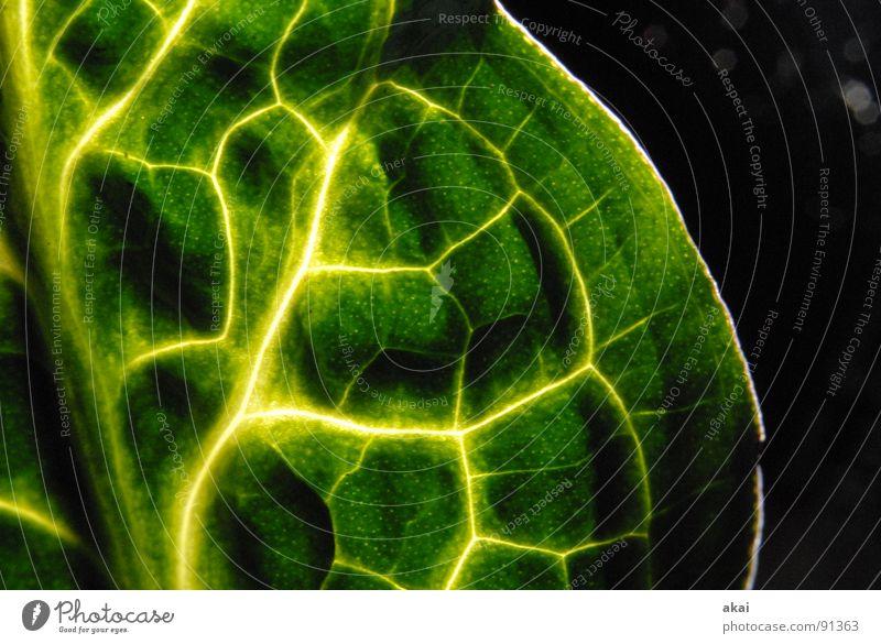 Das Blatt 2 Pflanze Urwald Südamerika Wildnis grün Botanik Pflanzenteile Kletterpflanzen pflanzlich Umwelt Sträucher Aronstab Gegenlicht Langzeitbelichtung akai