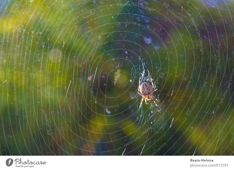 Pfusch am Bau? Natur Tier Spinne Kreuzspinne Arbeit & Erwerbstätigkeit Bewegung fangen festhalten Häusliches Leben braun grün Kraft Leidenschaft fleißig