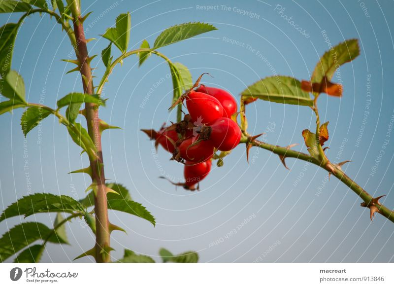 Hagebutten Hundsrose Rose Wildrosen Blüte Beeren Frucht Zweig Sträucher Pflanze rot Himmel blau