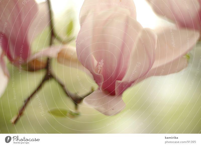 drachenschlund Blume Frühling Sommer Physik rot rosa Pflanze Wachstum gedeihen schön hässlich geschmeidig frisch essbar Baum Holz Blütenknospen Wärme