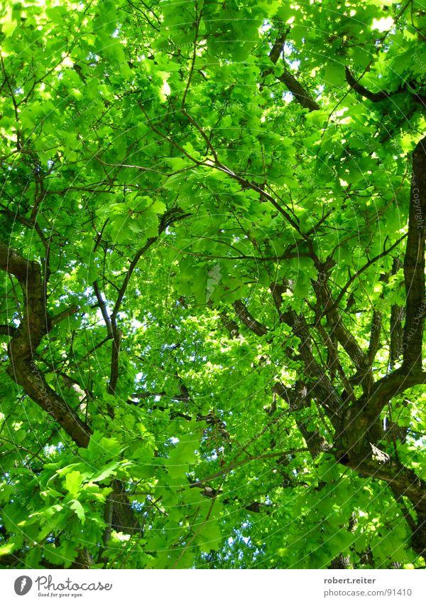 grüner himmel Baum Blatt Sommer Frühling groß Wohlgefühl Glück Photosynthese Wachstum Park Wald Ast Blühend Farbe Baumstamm Leben