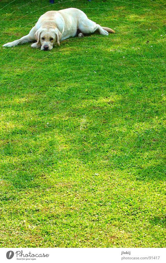 Keiner liebt mich... Hund Labrador Hängeohr Nase Hundeblick blond Dickkopf Wiese Fell Tier Säugetier kalte Schnauze Herrchen Rasen Schatten links oben einzeln