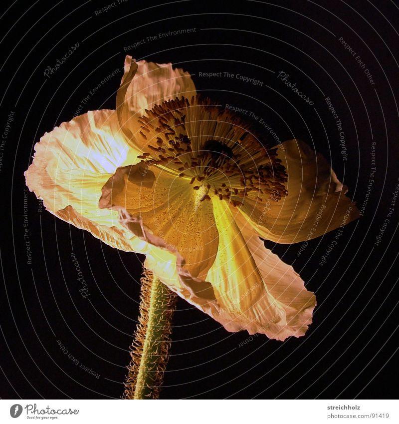 Nachtblume Farbfoto Nahaufnahme Makroaufnahme abstrakt Dämmerung Kunstlicht Schatten Lichterscheinung Sonnenaufgang Sonnenuntergang Totale Freude Glück Natur