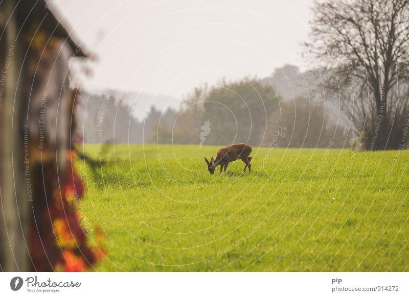 rehnaturierung Umwelt Natur Landschaft Gras Wiese Feld Wald Tier Wildtier Reh 1 Essen Geborgenheit Bleßwild Fressen Horizont Schüchternheit friedlich Tierschutz