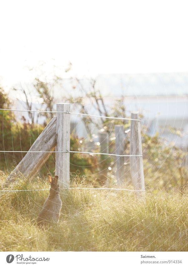 Fabel vom Hasen und dem Pfosten Teil II Umwelt Natur Tier Wiese Wildtier 1 sitzen entdecken Hase & Kaninchen Zaun Zaunpfahl Hasenohren hören Wachsamkeit