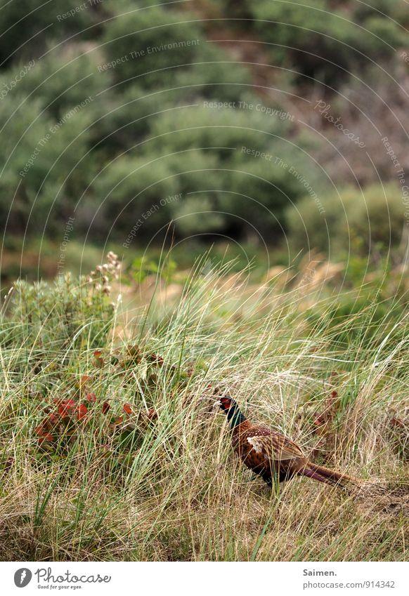 Tarnfasan Umwelt Natur Landschaft Pflanze Tier Wiese Feld Wildtier Vogel 1 stehen Fasan grün Gras Feder Farbfoto mehrfarbig Außenaufnahme Tag Tierporträt