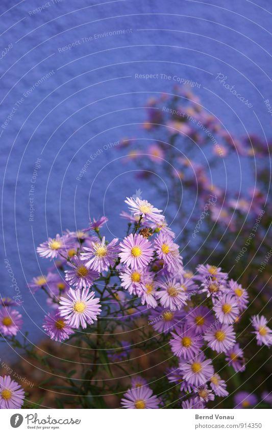 Deuteranopie Natur Pflanze Blume Blüte Stadt Mauer Wand schön mehrfarbig gelb grün violett Vorgarten Garten Schmuck Dekoration & Verzierung verrückt Farbe grell