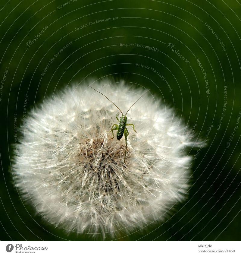 Los Kleiner, hüpf schon II Löwenzahn springen klein winzig grün hüpfen Wiese Feld Fühler Heuschrecke heupferdchen schirmchen kitzlig