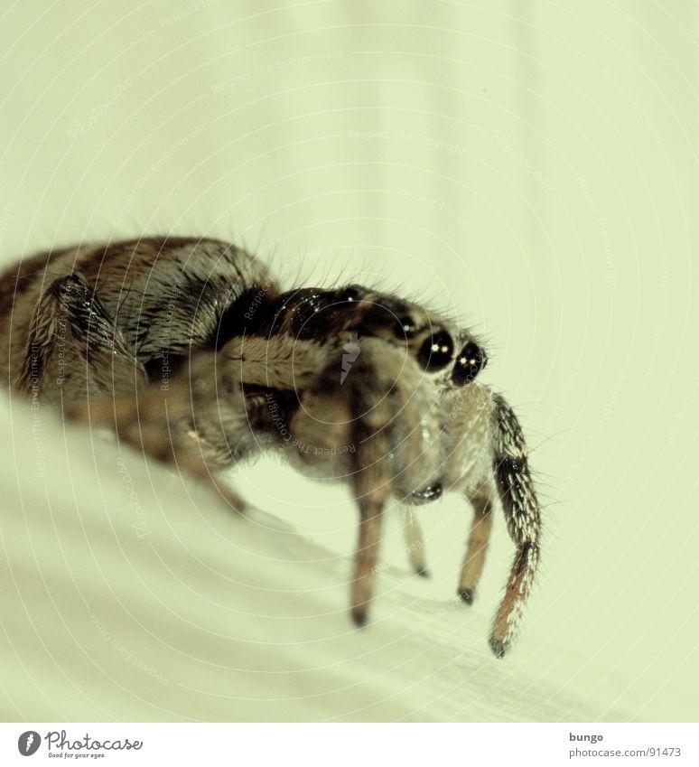 Klebeband Zebraspringspinne Spinne Ekel klein Makroaufnahme Kieferklaue Mandibel Fresswerkzeug Gliederfüßer Nahaufnahme Angst Panik Auge arthropoden spider fear