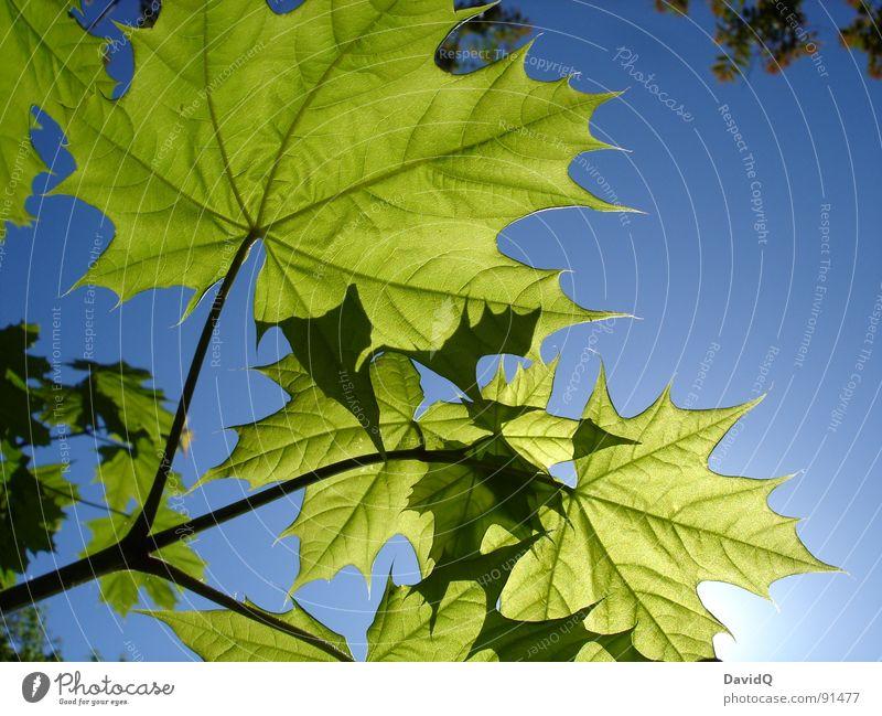 Jugendliche Blätter auf dem Sonnendeck Frühling Ahorn Spitzahorn Blatt Photosynthese Wachstum frisch durchscheinend Gefäße Potsdam Blick in den Himmel