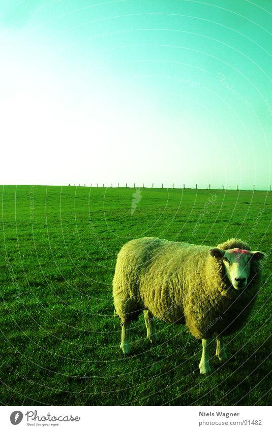 Bitte Lächeln Schaf grün Licht Meer Feld Wiese Wolle Tier Zaun Wolken Wollpullover Sonne Hügel Deich Biotop Naturschutzgebiet Ostsee Fuß Körperhaltung Schatten