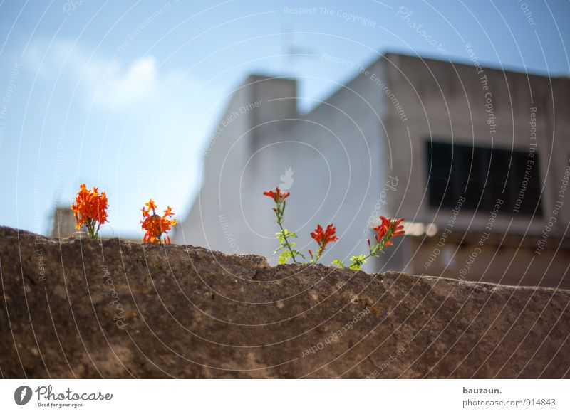 mauerblümchen. Häusliches Leben Haus Umwelt Natur Sonne Sommer Schönes Wetter Pflanze Blume Blüte Wildpflanze Garten Park Dorf Kleinstadt Stadt Mauer Wand