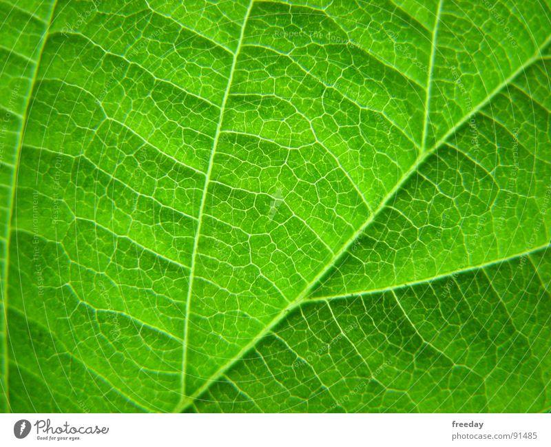 ::: Chlorophyll ::: Hintergrundbild Baum Romantik mehrfarbig nah Photosynthese reif grün Blatt Götter Pflanze hellgrün Gefäße Niedersachsen Urwald Botanik
