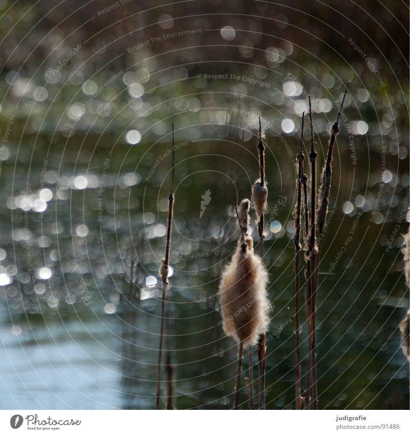 Am See Schilfrohr Blüte Wasseroberfläche glänzend Teich Sommer Wachstum gedeihen rispe Lichterscheinung Spitze Natur Landschaft