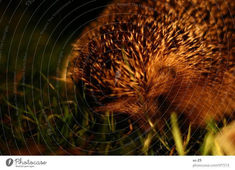 Igel in the night Tier Wiese Gras Säugetier Stachel