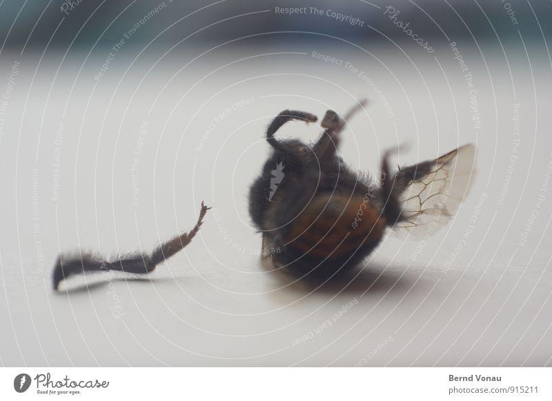 aus Biene Flügel Traurigkeit klein trist grau Tod Trennung Insekt Beine Wunde Gefäße Abschied verloren grausam Ende Rücken Rückenlage amputiert Farbfoto