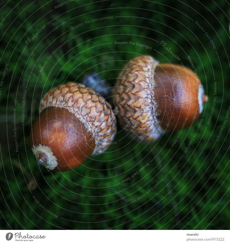 Eichel-Duo Natur Pflanze Wiese braun Eicheln 2 Paar Moos Waldboden Frucht Farbfoto Nahaufnahme Detailaufnahme Makroaufnahme