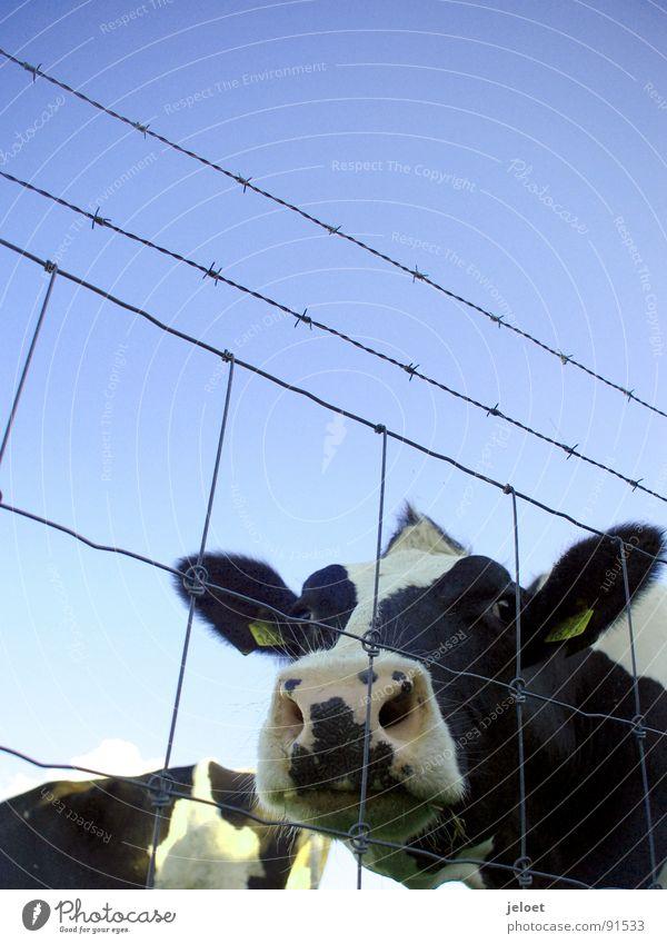 Kuh hinterm Zaun Himmel blau Tier Traurigkeit Trauer Bauernhof Neugier Kuh Weide Zaun diagonal Schönes Wetter gefangen Säugetier Draht Maul