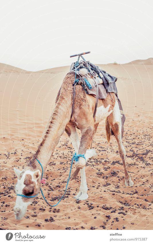 Dromedar Ferien & Urlaub & Reisen Sommer Wärme Wüste heiß Düne Reiten Arabien Kamel Marokko Dromedar Merzouga