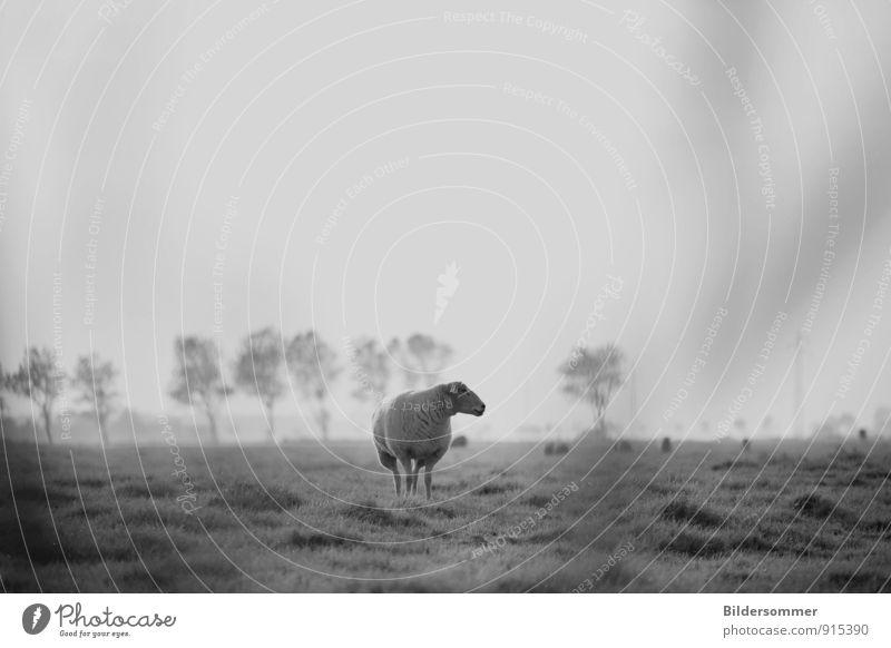 forgetting about rush and routine Natur weiß Einsamkeit Landschaft ruhig Tier schwarz Wiese Gras grau Stimmung Feld Idylle stehen beobachten Landwirtschaft