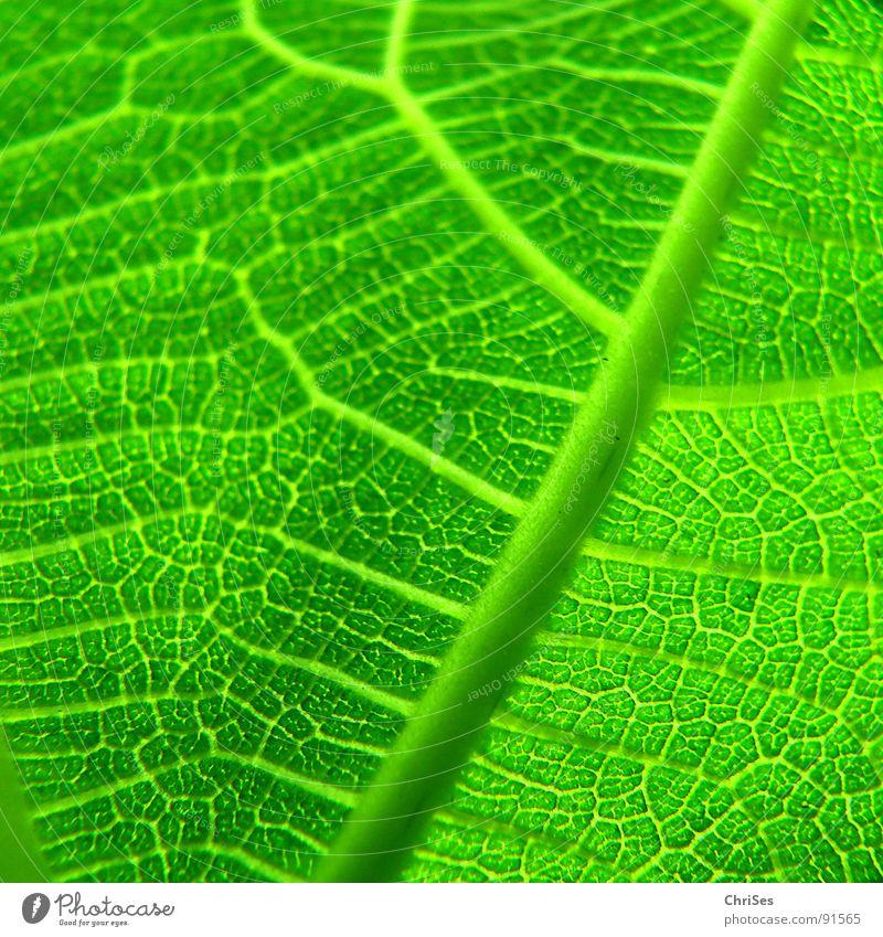 Feigenblatt Blatt grün Pflanze Frühling Blattgrün Baum Photosynthese Makroaufnahme Nahaufnahme Natur Stuktur ChriSes
