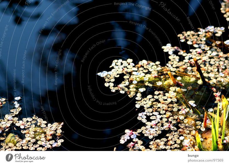 Tränen und Blüten Teich Reflexion & Spiegelung Muster dunkel Oberfläche Wasser reflektion blüttenblätter bedecken Strukturen & Formen blättchen