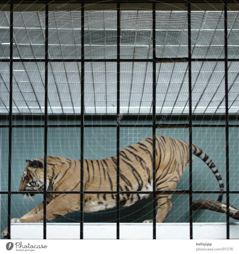 pixeltiger II Tiger Zoo Tier schlafen Käfig Gitter Trauer gefangen Pfote Umweltschutz Lebewesen Show Landraubtier Raubkatze maskulin Fell gefährlich bissig