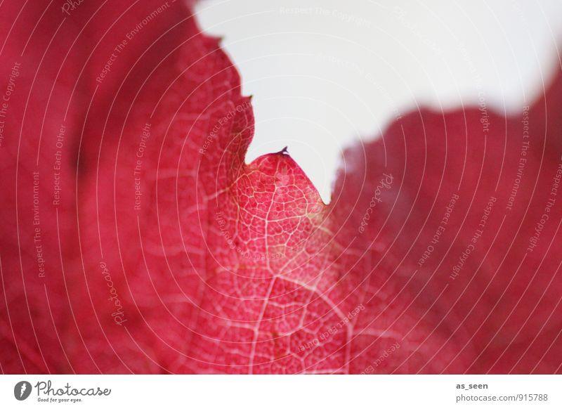 Indian Summer Natur Pflanze schön Farbe rot Blatt Wald Herbst natürlich Design leuchten ästhetisch Vergänglichkeit Romantik Netzwerk Wellness