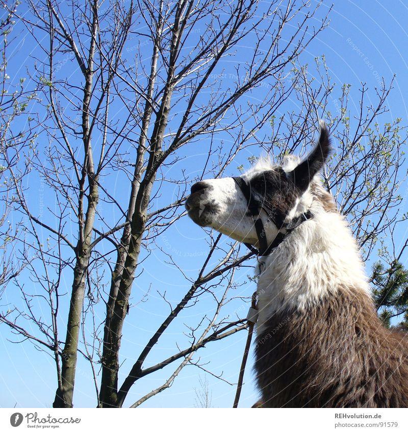 ein lama steht im walde ... Tier spucken Baum angekettet festhängen Sommer Verzweiflung scheckig Halfter Nüstern Wasserkuppe Ausritt Streichelzoo buschig