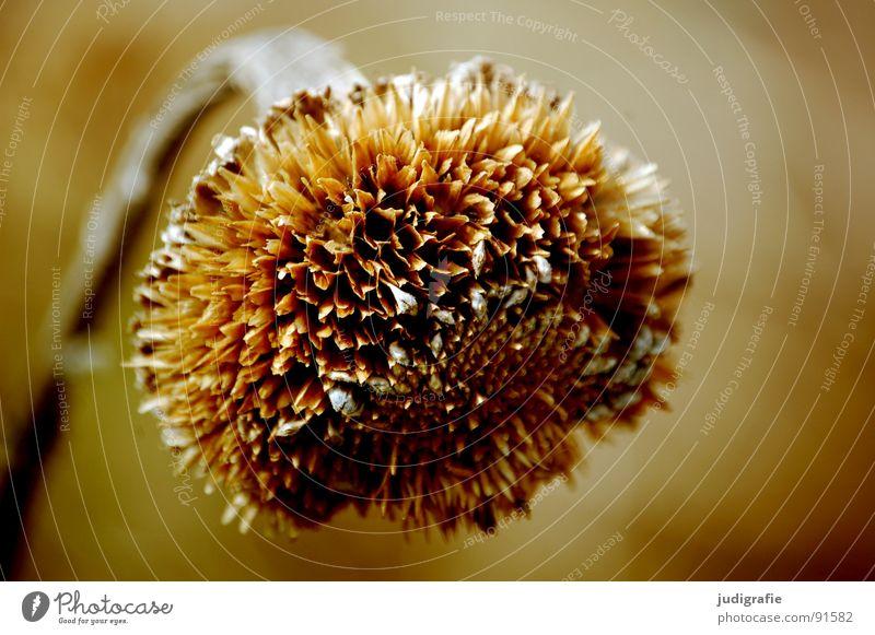 Vom letzten Sommer Sonnenblume Blume trocken braun Pflanze Umwelt Herbst Stengel Vergänglichkeit getrocknet verblüht Tod orange Natur