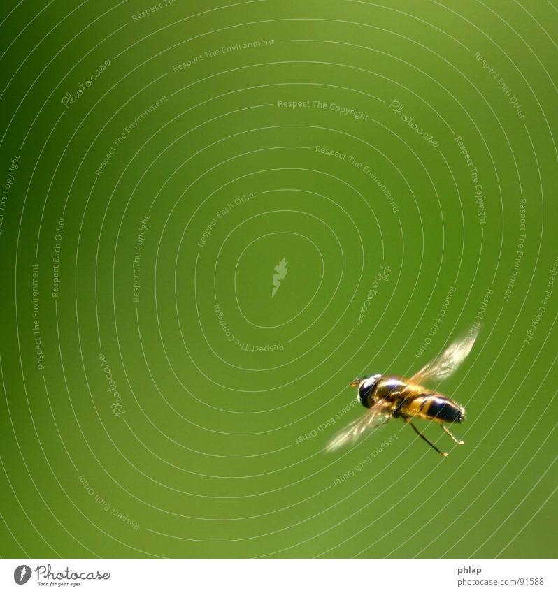 ...schweben in der Ecke Schwebfliege Insekt Schweben grün Frühling Sommer Garten Park Makroaufnahme Nahaufnahme Fliege fliegen Natur Flügel Beine