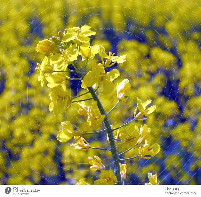 Rapslangeweile Feld Landwirtschaft Sommer gelb Blüte Blume Allergie Botanik Biologie Landschaft Pflanze Pollen