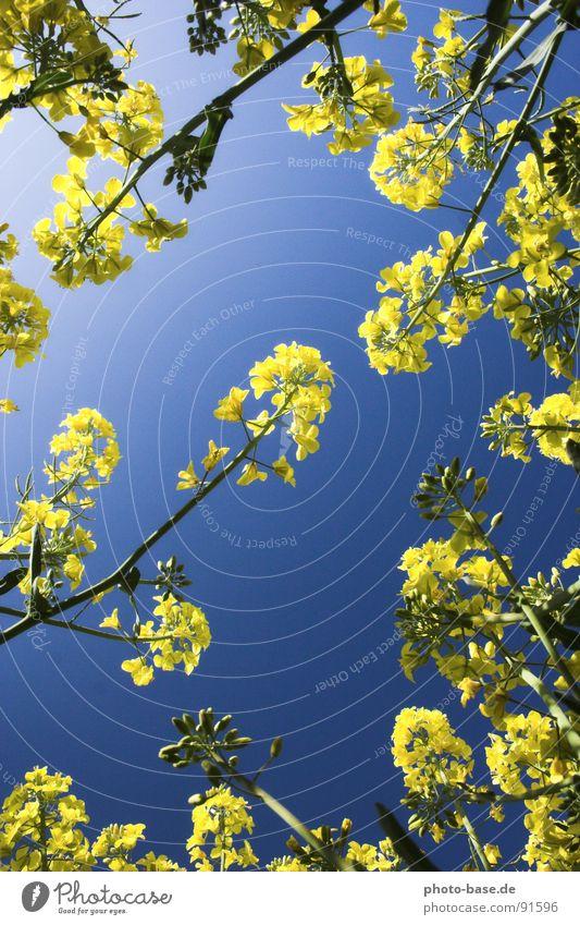 Von unten betrachtet Himmel blau Pflanze gelb Feld liegen Raps