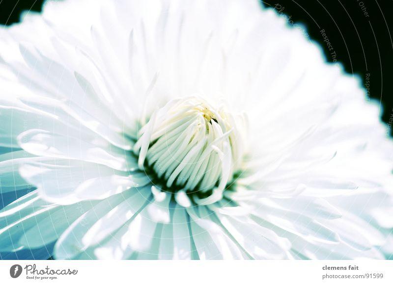 Sonnenblume schön weiß Blume blau Sommer kalt Park frisch Sauberkeit rein